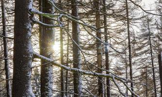 Sol entre nevado en abetos helados Brocken Harz Alemania foto
