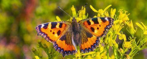 mariposa naranja pequeño zorro carey aglais urticae flores amarillas foto