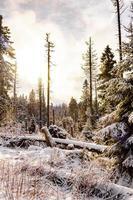 Sol en el bosque moribundo nevado en el paisaje de Brocken Harz, Alemania foto