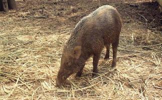 Wild boar sightings in the wild photo