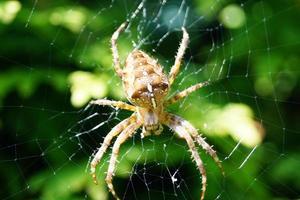 araña en la web foto
