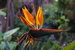 Strelitzia the paradise bird flower photo