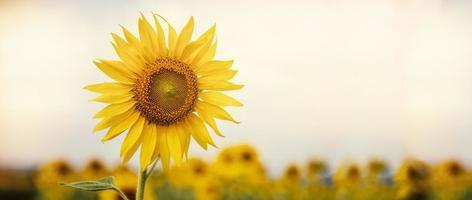 girasol que florece en la granja con luz solar foto