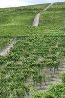 Vineyards in the hilly region of Langhe, Northern Italy, UNESCO site. photo