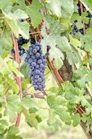 Clusters of grapes almost ripe, region of Langhe, Italy. photo