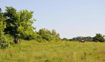 pastoreo de vacas, en, pradera verde foto