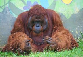 Orangutan sitting and look sad in a zoo photo