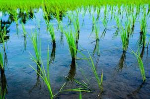 Beautiful Organic green paddy-field photo