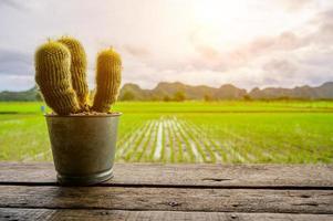 Cactus on wood table on Beautiful Organic green paddy-field photo