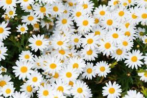 flor de la margarita - manzanilla silvestre foto