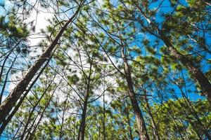 Pine tree forest at Phukradueng, Loei, National park in Thailand. photo