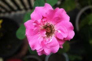 Close Up Tropical Pink Flower Ornamental Plants photo