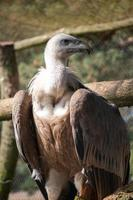 Vulture sitting on a tree photo