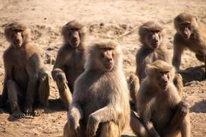 Apes sitting in the desert photo