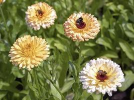Marigold flowers, Calendula officinalis Pacific Apricot Beauty photo