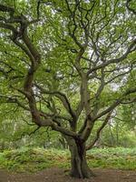 Viejo roble con ramas retorcidas y follaje de verano foto