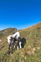 Horses on the pastures of the Italian Alps photo