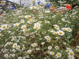 planta de manzanilla chamaemelum flor blanca foto