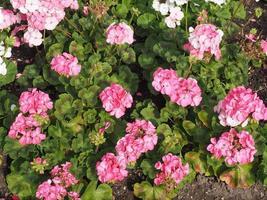Pink geranium flower photo