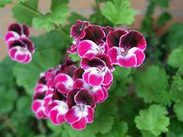 Pink Geranium flowers photo