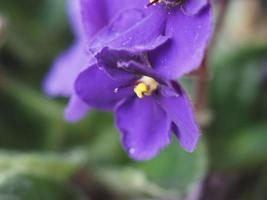 flor de saintpaulia violeta foto