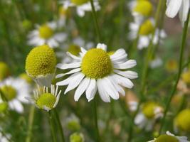 planta de manzanilla, chamaemelum, flor blanca y amarilla foto