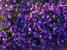 Purple aubrieta flowers photo