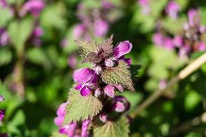 lamium de flores silvestres foto