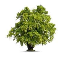 Tree on isolated white background photo