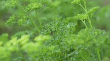 close up of culinary herbs in garden video