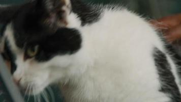 Close up of womans hand stroking cat video
