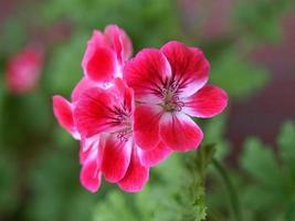 Geranium plant Geraniales pink flower photo