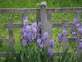 iris iris germanica, flor morada foto