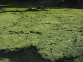algas verdes en un estanque foto