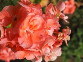 Pink geranium flower selective focus photo