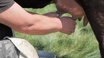 close up of a mans hand milking a cow video