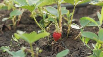 young strawberry plants in spring garden video