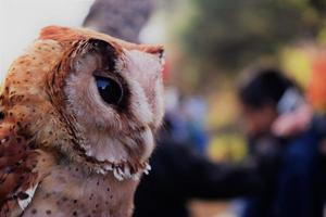 Owl in Dieng, Central Java, Indonesia photo