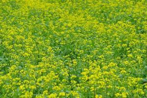 Yellow rape flower background image in Qinghai Province China photo