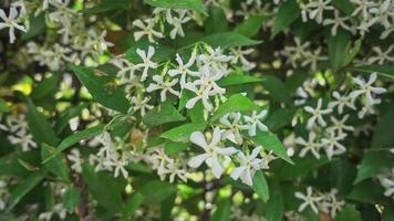 Dolly Shot Of A Summer Plant With White Fresh Jasmine Fowers video
