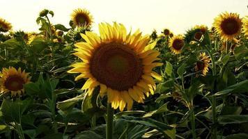 zonnebloemen zwaaien de langzame wind in het veld video