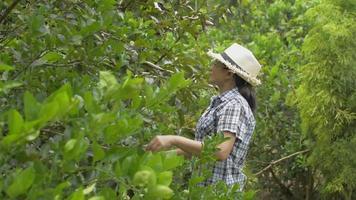 Asian female farmer caring lemon trees in organic garden. video