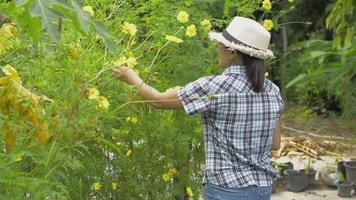 Female gardener picking yellow cosmos flower seeds for planting. video
