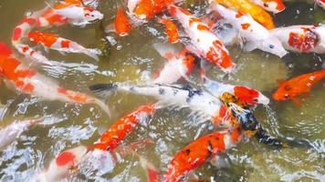 group koi fish or colorful fancy carp swimming in the pond video