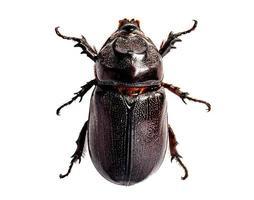 Escarabajo oryctes rhinoceros aislado sobre fondo blanco. foto