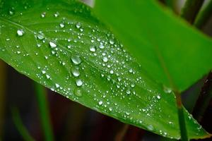 Wet green leaves with water droplets and dew fluttering in rain. photo
