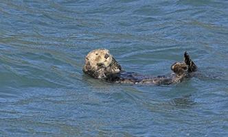 nutria de mar acicalarse en el océano foto