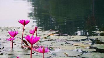 Lotus flower in the pond in Angkor Wat complex, Siem Ream Cambodia. photo