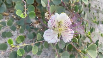 close up caper bushes and flying bee in nature video