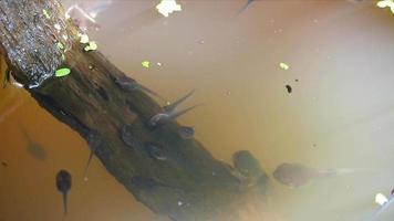 renacuajos en el gran frasco, están nadando bajo el agua en el campo video